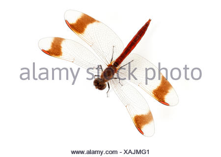 Banded Darter on white background - Stock Photo