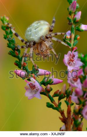 fourspotted orbweaver (Araneus quadratus), sitting on heath, Germany - Stock Photo