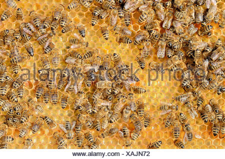 Colony of Honey Bees (Apis mellifera var carnica) on fresh honeycomb with honey - Stock Photo