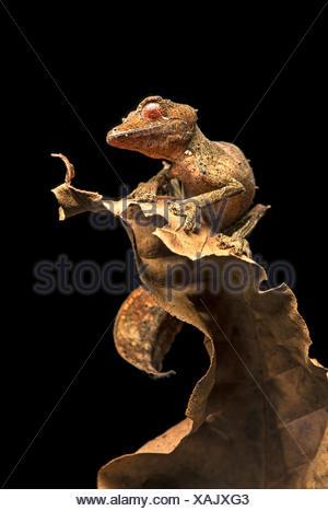 Satanic Leaf Tailed Gecko (Uroplatus phantasticus), camouflaged on dry leaves, endemic, Anjozorobe National Park, Madagascar - Stock Photo