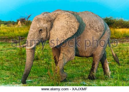 Baby elephant, Kwando Concession, Linyanti Marshes, Botswana. - Stock Photo