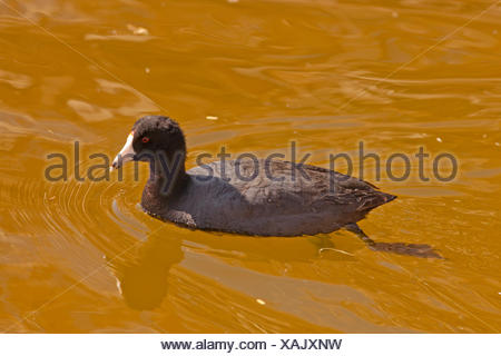 American coot (Fulica americana), swimming , USA, Arizona, Boyce Thompson Arboretum - Stock Photo