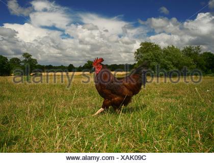 Free range chicken walking in field - Stock Photo