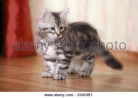 Siberian Forest Kitten - Stock Photo