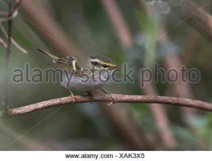 Pallas' boszanger zittend op tak, Pallass Leaf Warbler sitting on branch. - Stock Photo