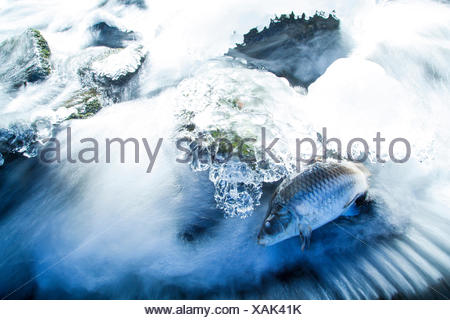 carp, common carp, European carp (Cyprinus carpio), dead carp on frozen creek, Germany, Rhineland-Palatinate, Altenkirchen - Stock Photo