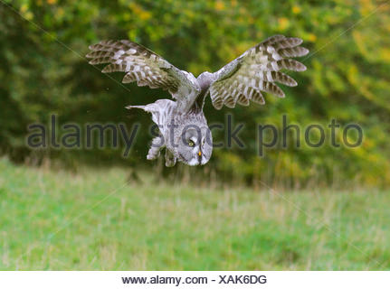 great grey owl (Strix nebulosa), approach to the lookout - Stock Photo