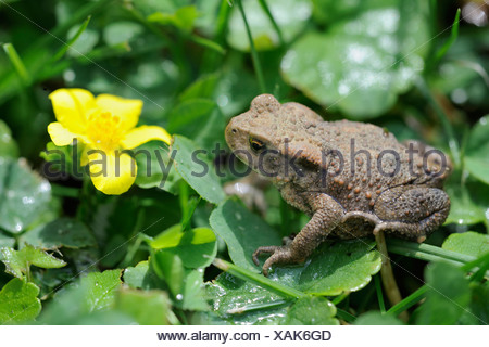 Young Common Toad (Bufo bufo), Waldviertel region, Lower Austria, Austria, Europe - Stock Photo