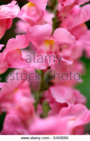 PINK SNAPDRAGON OR ANTIRRHINUM FLOWER - Stock Photo