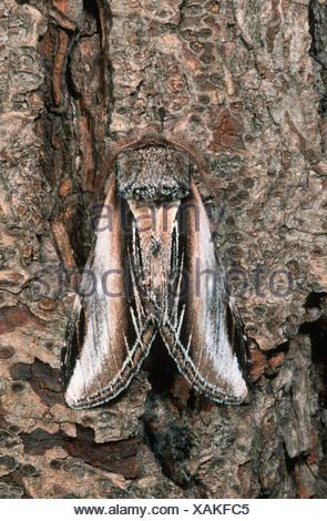 swallow prominent (Pheosia tremula), sitting on bark, Germany - Stock Photo