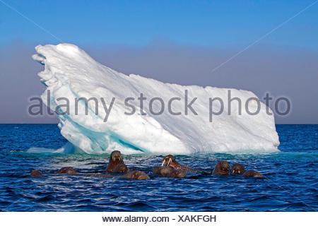 walrus (Odobenus rosmarus), walruses in the Arctic Ocean with iceberg, Norway, Svalbard - Stock Photo