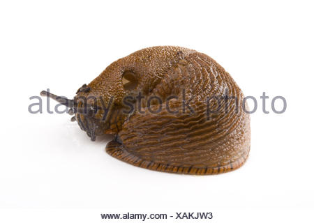 a slug on white background - Stock Photo