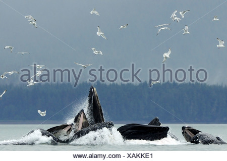 Humpback whale bubble net feeding for herring near Juneau with gulls overhead during Summer in Southeast Alaska - Stock Photo