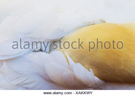 A Gannet Bird Hides It's Head To Rest Under It's Wings; Perce', Quebec, Canada - Stock Photo