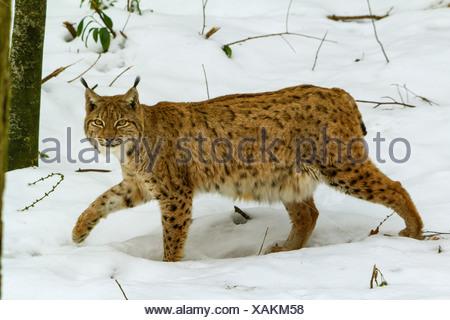 Eurasian lynx (Lynx lynx), walking in snowy forest, Switzerland - Stock Photo