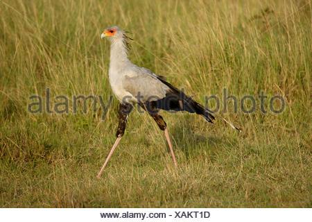 secretary bird, Sagittarius serpentarius (Sagittarius serpentarius), walking in a meadow, Kenya, Samburu National Reserve - Stock Photo