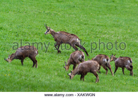 chamois (Rupicapra rupicapra), pack grazing in a mountain meadow, Switzerland, Grisons, Zernez - Stock Photo