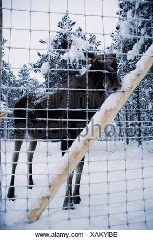 Elk behind a fence, Sweden. - Stock Photo