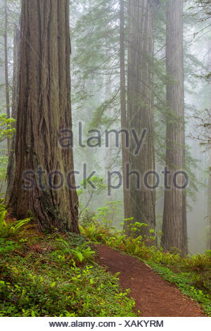 Redwoods along the Damnation Creek Trail in Del Norte Coast Redwoods State Park, California, USA , California, USA - Stock Photo