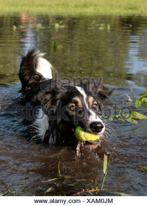 A collie in the water holding a ball in its mouth. - Stock Photo