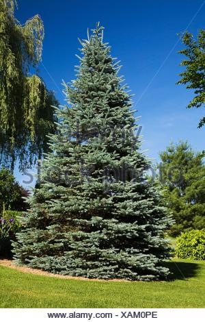Garden lawn with (picea pungens glaucaa) colorado blue spruce tree in spring season - Stock Photo