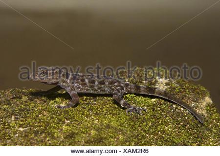 Dwarf gecko, Cnemaspis sp, Gekkonidae, Thenmala, Kerala. - Stock Photo