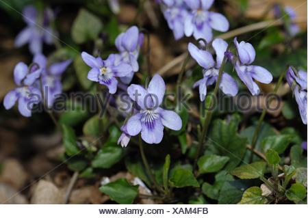 Heath dog violet Viola canina flowering plant - Stock Photo