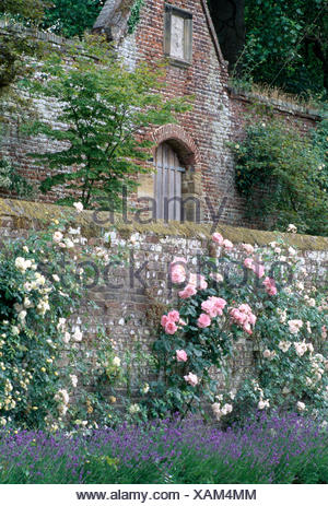 Pink and white climbing rose on an old brick wall above a border of lavender  in large country garden - Stock Photo