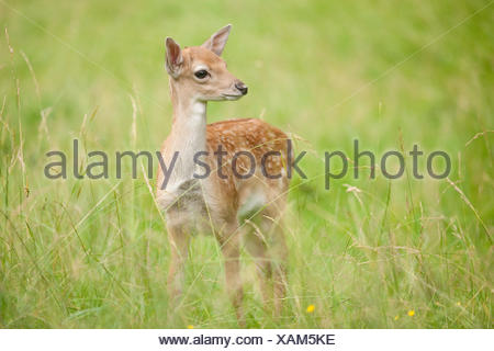 Fallow deer (Dama dama), fawn standing in a meadow, captive, Saxony, Germany - Stock Photo