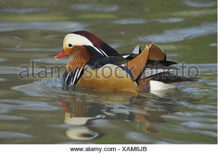 Mandarin duck, Aix galericulata, male, water, game park, animal park, waters, animals, wild animals, birds, water birds, goose's birds, anatids, brightness ducks, Asian, East Asian, swimming ducks, ducks, drake, little man, manly, plumage, brightly, colourfully, admirably, swim, nature, Wildlife, preview,