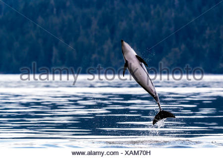 Pacific White Sided Dolphin, Lagenorhynchus obliquidens jumping in Broughton Archipelago Provincial park, British Columbia, Canada - Stock Photo