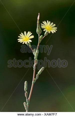 prickly lettuce, scarole (Lactuca serriola, Lactuca scariola), blooming, Germany - Stock Photo
