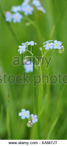 myosotis arvensis / field forget-me-not - Stock Photo