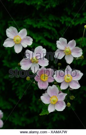 Grape Leaf Anemone / Herbstanemone - Stock Photo