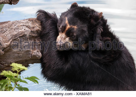 Spectacled bear (Tremarctos ornatus), standing in water, leaning against tree trunk, captive, Baden-Württemberg, Germany - Stock Photo