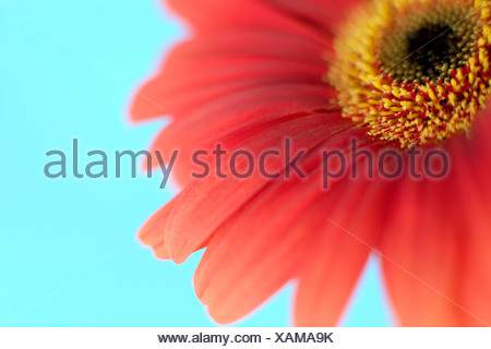 Gerbera flower (Gerbera sp.). - Stock Photo
