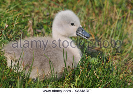 Mute Swan (Cygnus olor), cygnet sitting on a meadow, Herbsleben, Thuringia, Germany - Stock Photo