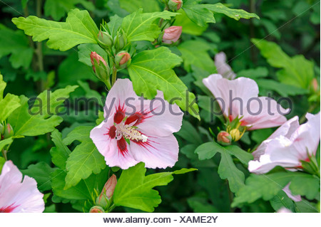 shrubby althaea, rose-of-Sharon (Hibiscus syriacus 'Hamabo', Hibiscus syriacus Hamabo), cultivar Hamabo - Stock Photo
