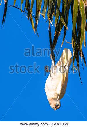 little corella (Cacatua sanguinea), klimbing on a palm tree, Australia, Western Australia, Carnarvon National Park - Stock Photo
