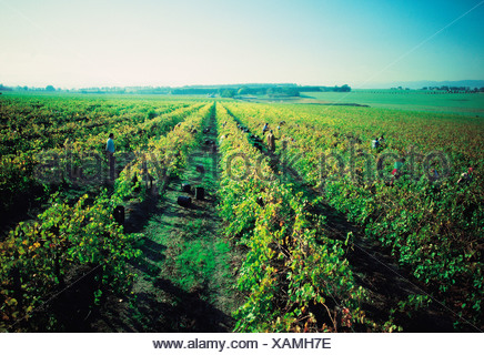Australia. Victoria. People harvesting grapes. Grape vines at St. Hubert's winery. - Stock Photo