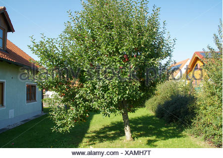 Malus domestica Gloster, Apple tree - Stock Photo