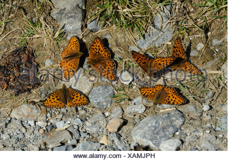 Queen of Spain Fritillary, Issoria lathonia, insects, near Andeer, Graubunden, Grisons, Switzerland, Europe, butterfly - Stock Photo