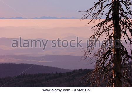 spruce (Picea spec.), hilly landscape in morning light,  bare-branched tree because of bark beetles, NP Bavarian Forest - Stock Photo