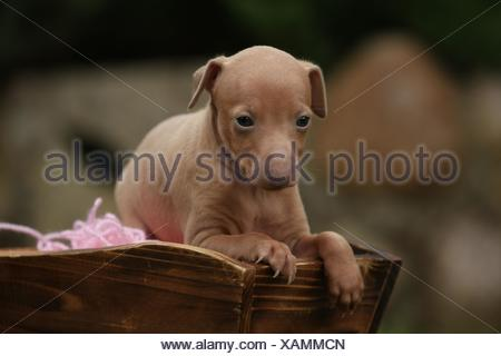 Italian Greyhound puppy - Stock Photo
