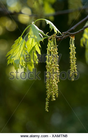 northern red oak (Quercus rubra), branch with male catkins and young leaves - Stock Photo