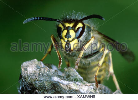 Common Wasp - Vespula vulgaris - Stock Photo
