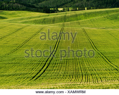 Agriculture - Rolling field of maturing Spring wheat / Idaho, USA. - Stock Photo