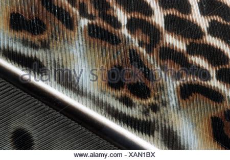great argus pheasant (Argusianus argus), wing feather - Stock Photo