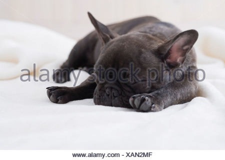 French bulldog sleeping on a blanket - Stock Photo