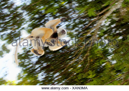 diadem sifaka, diademed sifaka (Propithecus diadema), jumping from tree to tree, Madagascar, Analamazaotra National Park - Stock Photo